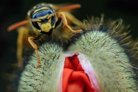Una avispa y una amapola - 480x320