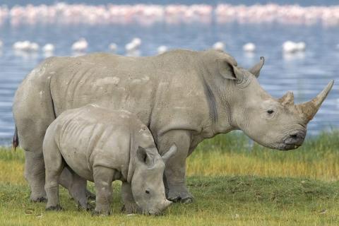 Una familia de rinocerontes - 480x320