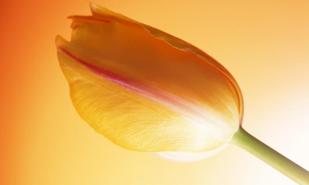 Una flor tulipan naranja - 1000x600