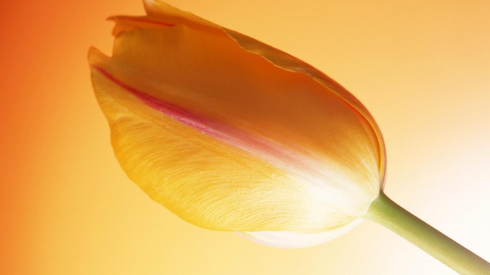 Una flor tulipan naranja - 1600x900