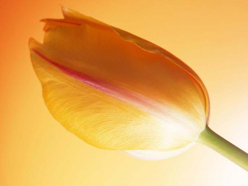 Una flor tulipan naranja - 800x600
