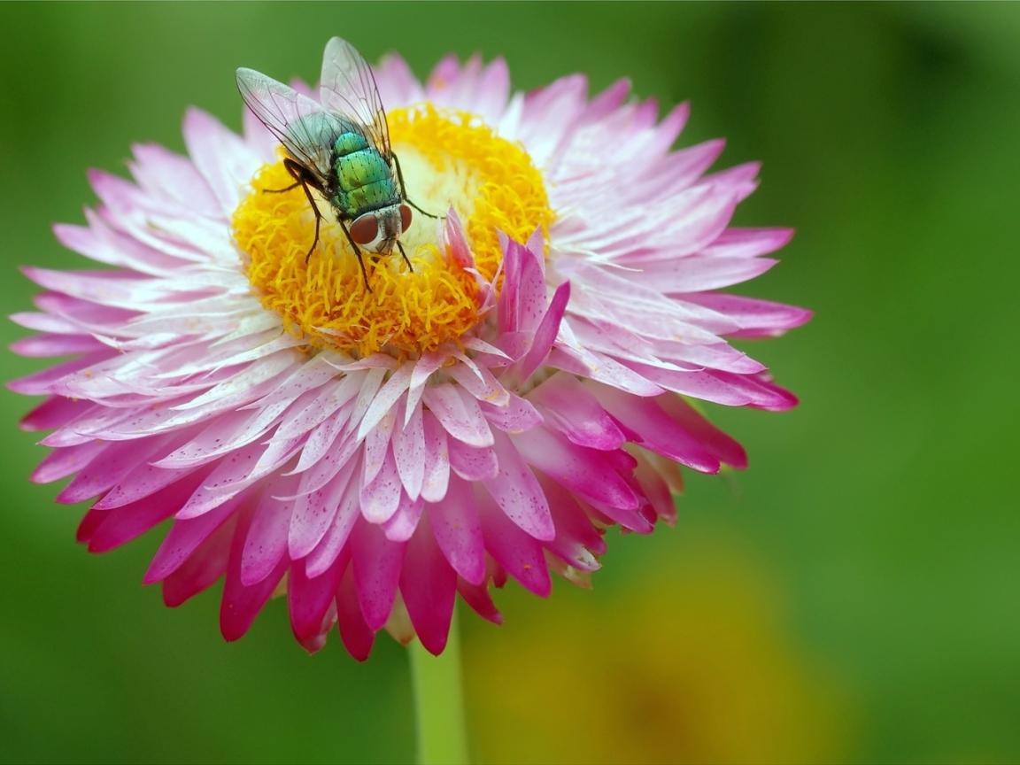 Una mosca y una flor - 1152x864