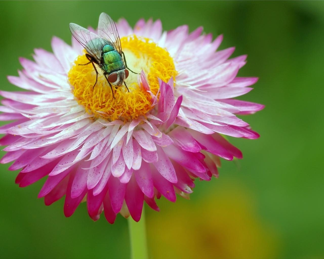 Una mosca y una flor - 1280x1024