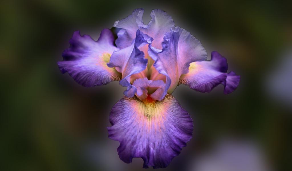Bella flor purpura - 1024x600