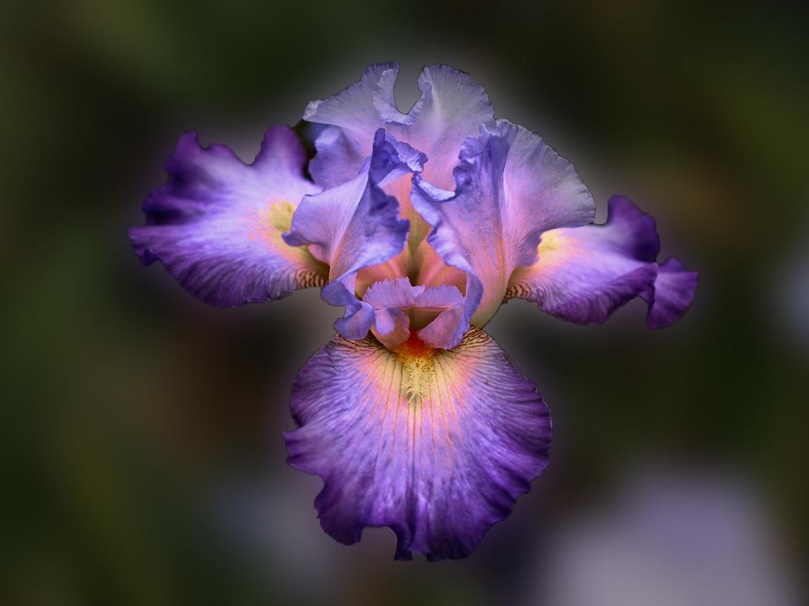 Bella flor purpura - 1152x864