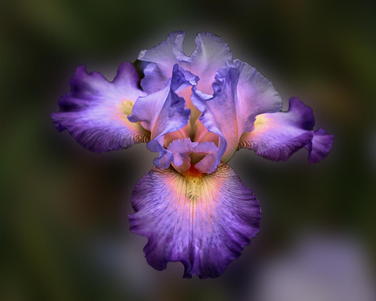 Bella flor purpura - 1280x1024