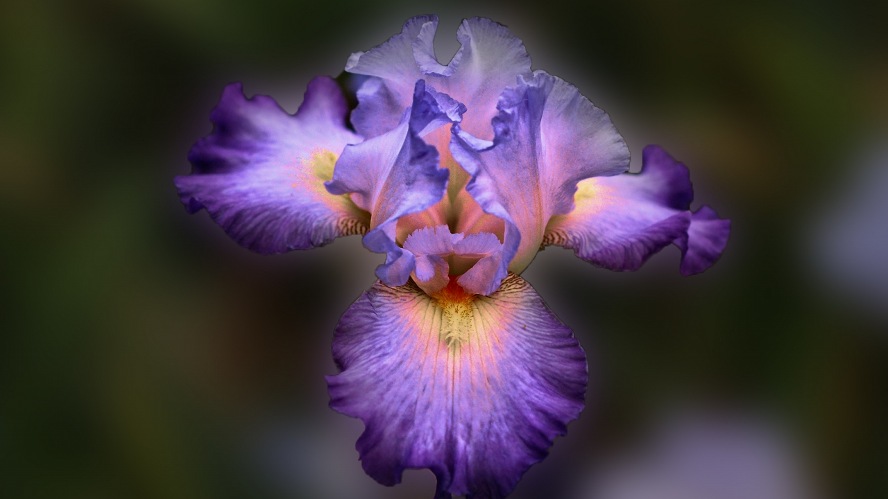 Bella flor purpura - 1280x720