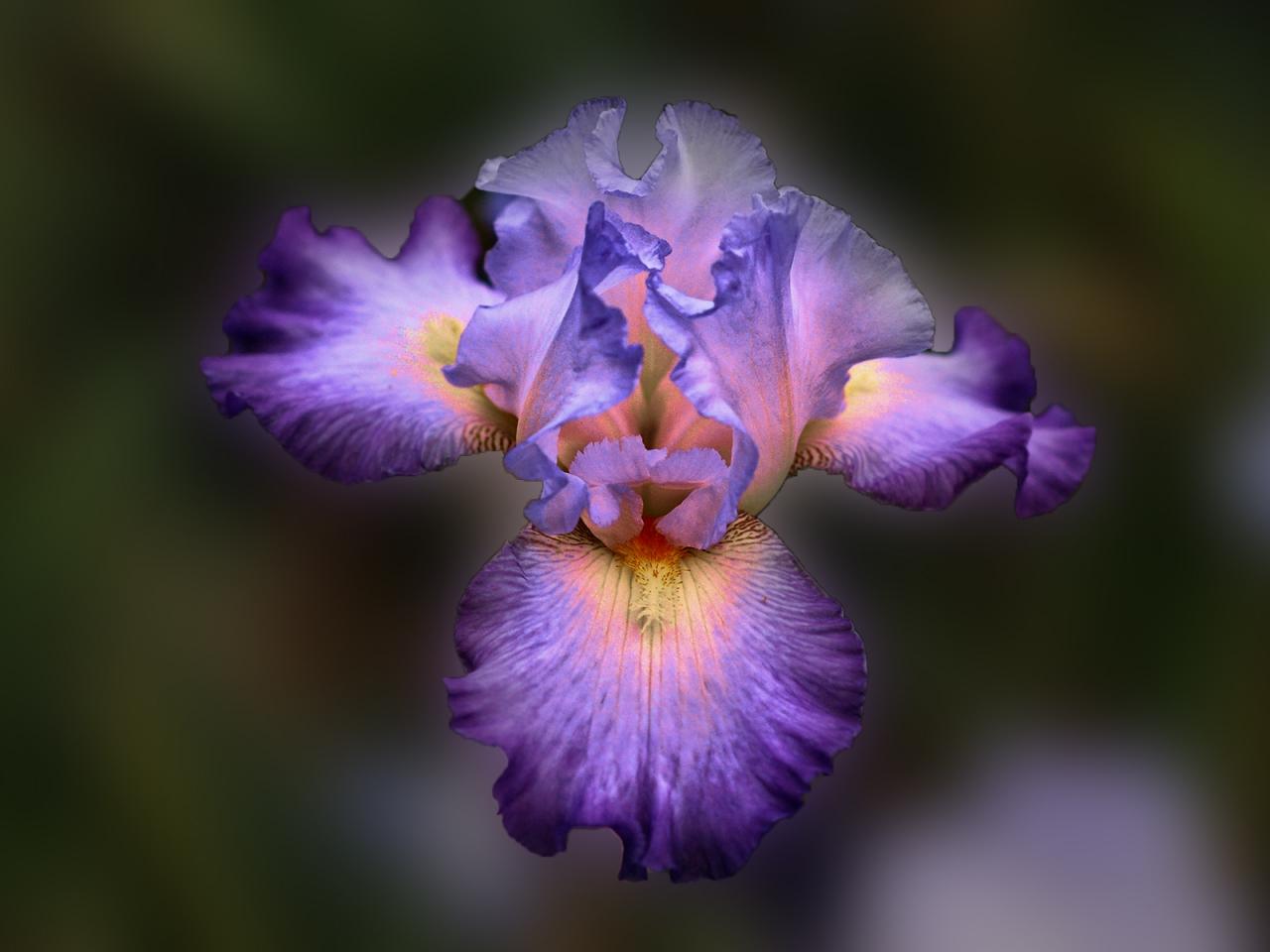Bella flor purpura - 1280x960