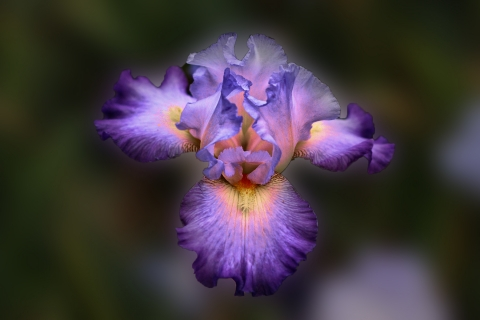 Bella flor purpura - 480x320