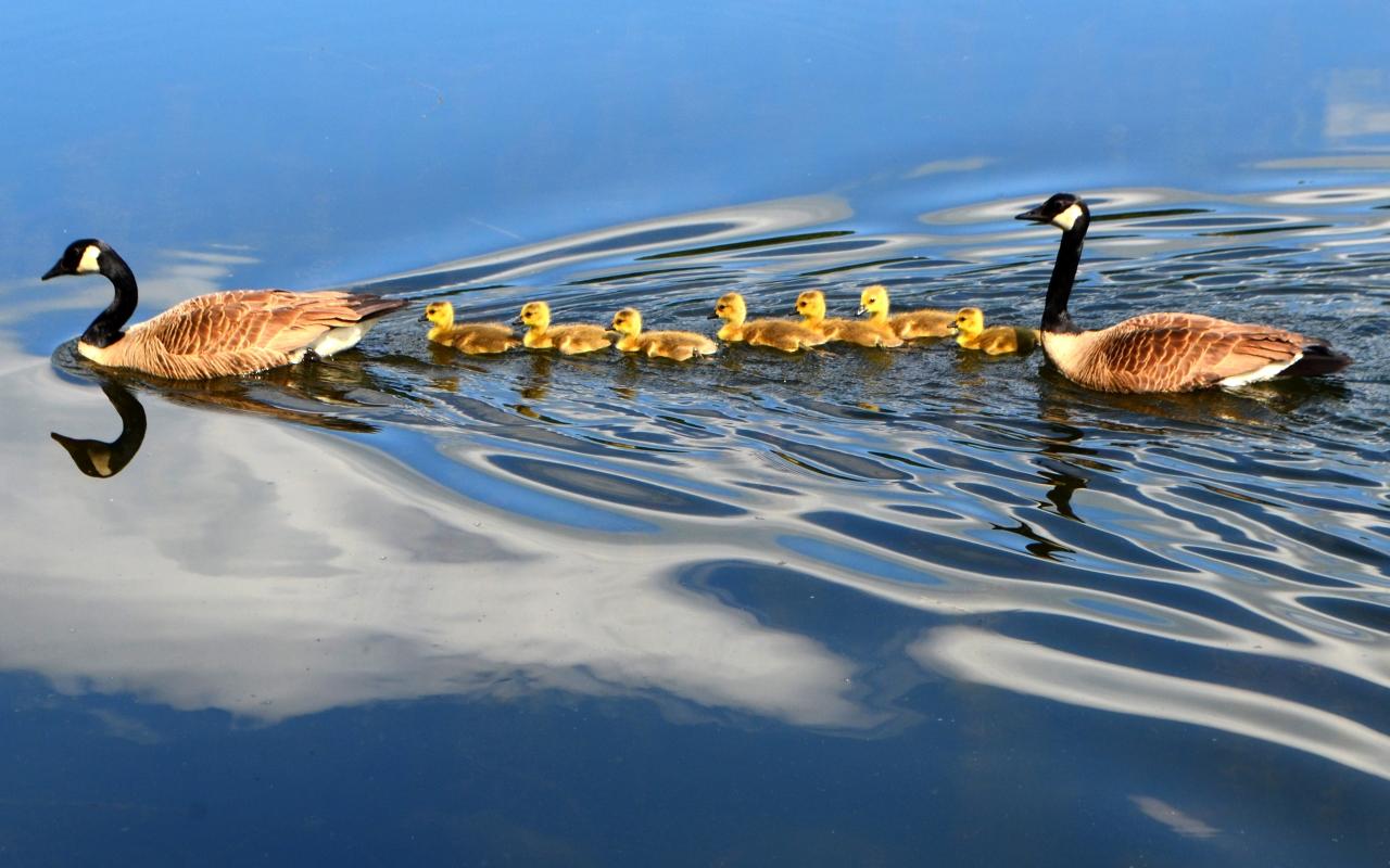 Familia de patos nadando en el lago - 1280x800
