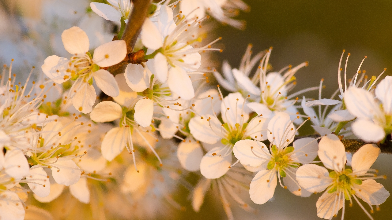 Hermosas Flores Blancas Wallpaper Hd Fondos De Pantalla Gratis: Flores Blancas Al Atardecer Hd 1280x720