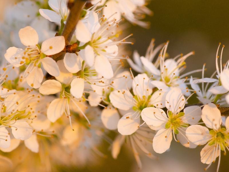 Flores blancas al atardecer - 800x600