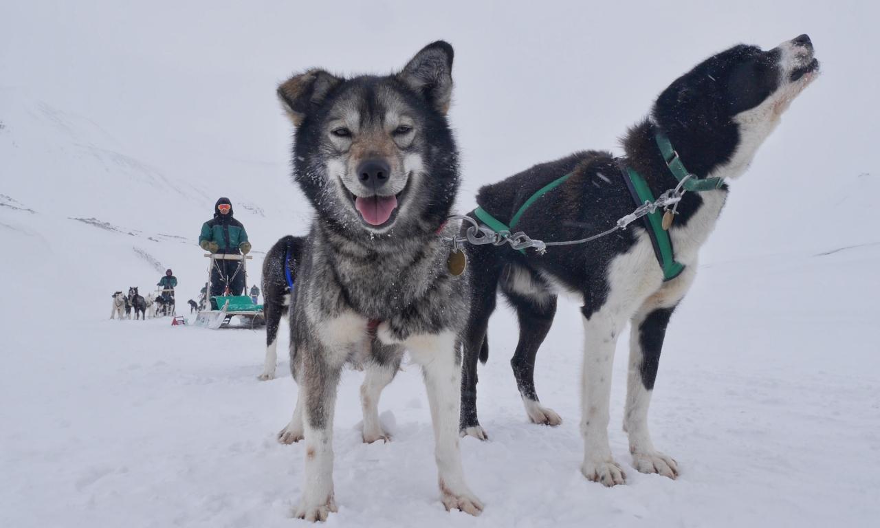 Perros y un trineo - 1280x768