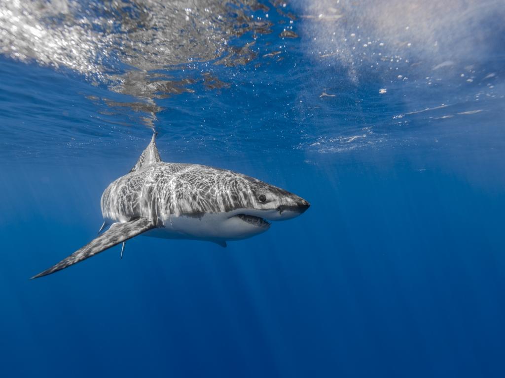 Tiburón en aguas poco profundas - 1024x768