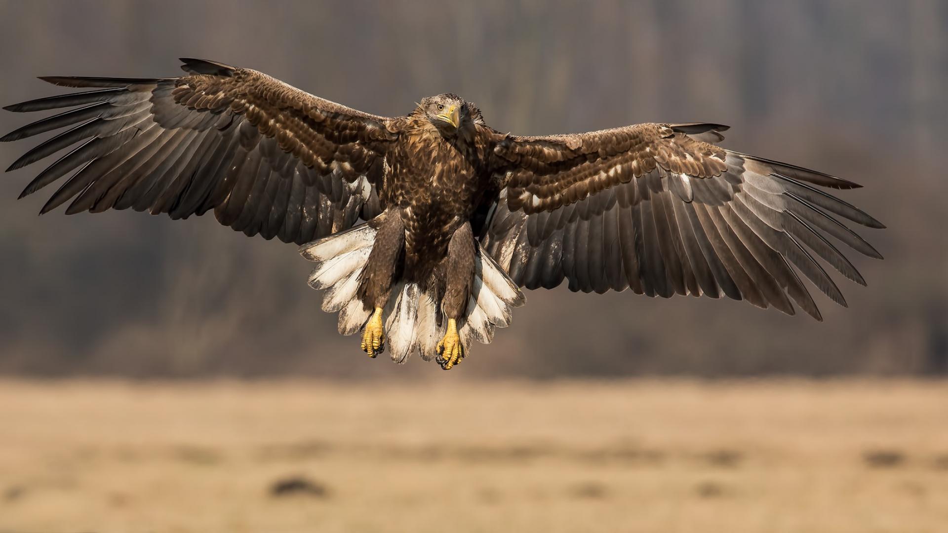 Un águila con las alas extendidas - 1920x1080