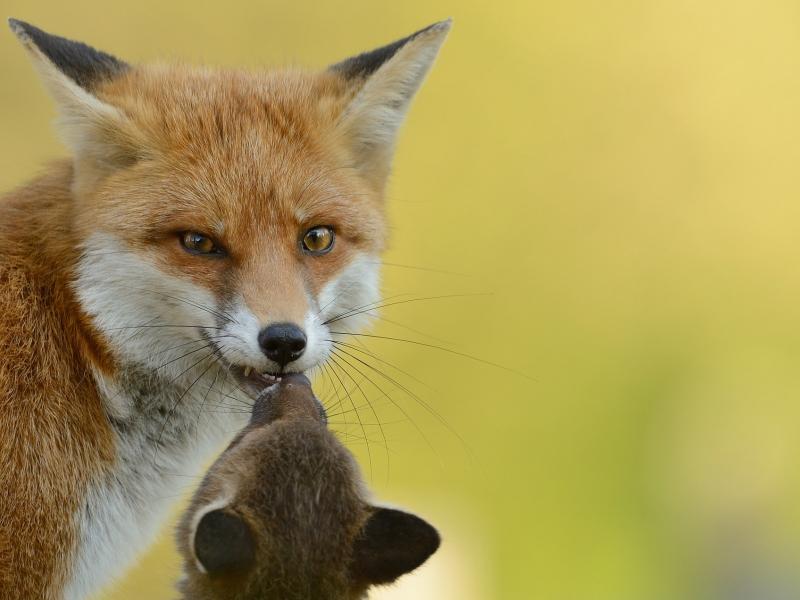 Un zorro rojo con su cría - 800x600