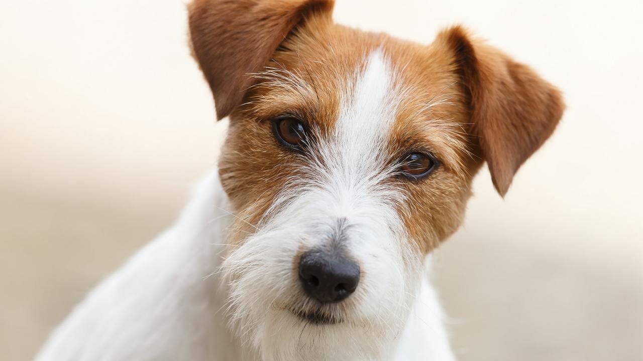 Un bello perro - 1280x720