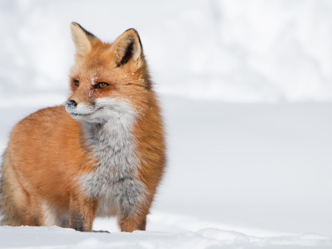 Un zorro rojo en las nieves - 1280x960