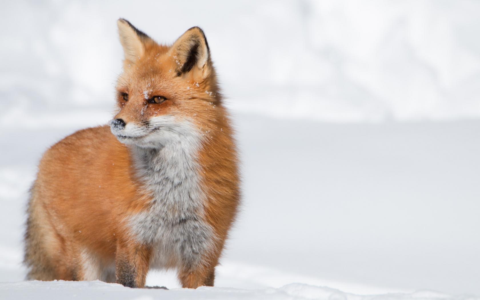Un zorro rojo en las nieves - 1680x1050
