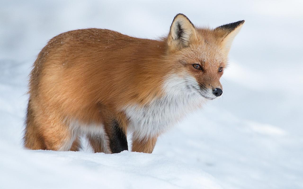 Zorro rojo en las nieves - 1280x800