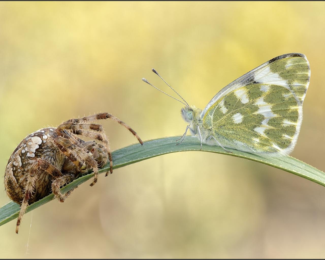 Araña vs Mariposa - 1280x1024