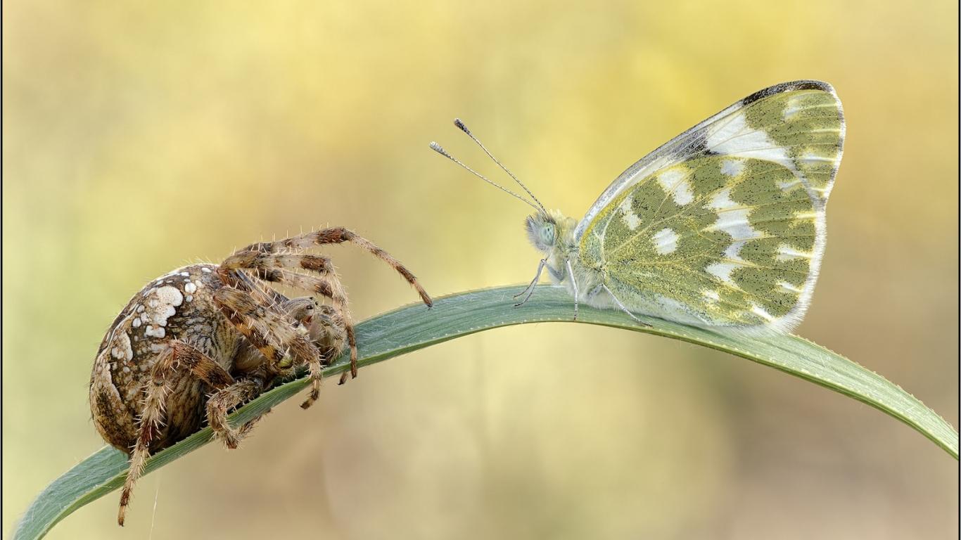 Araña vs Mariposa - 1366x768
