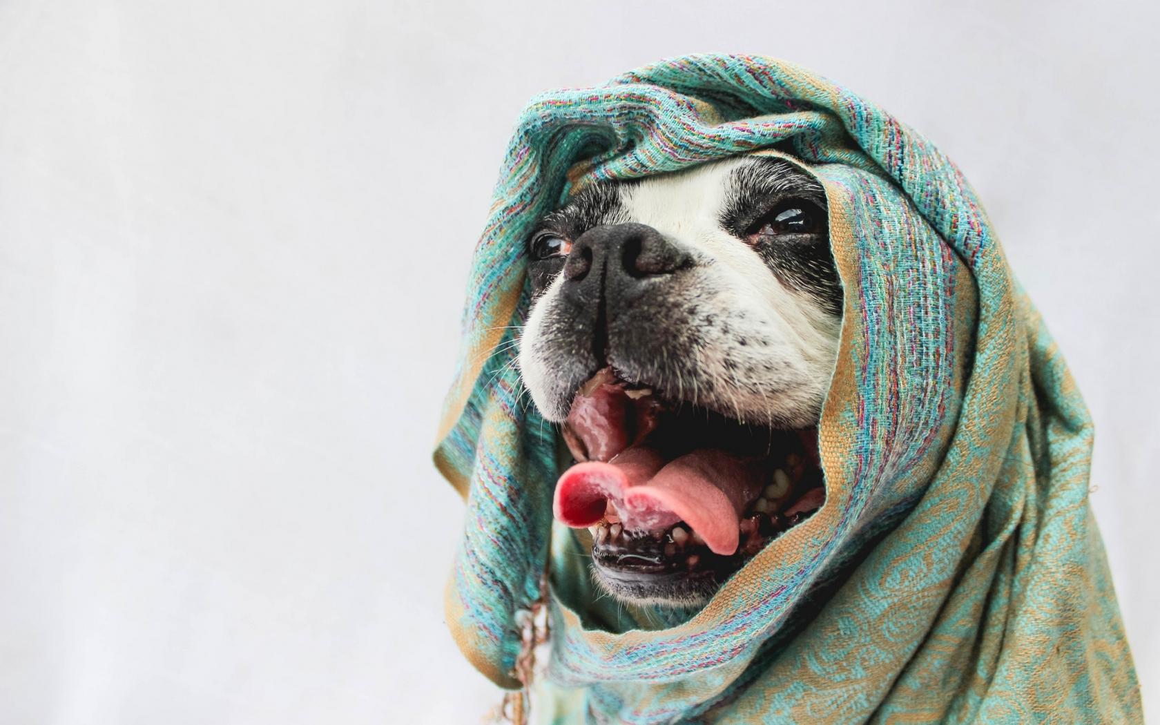 Bufandas para perros - 1680x1050