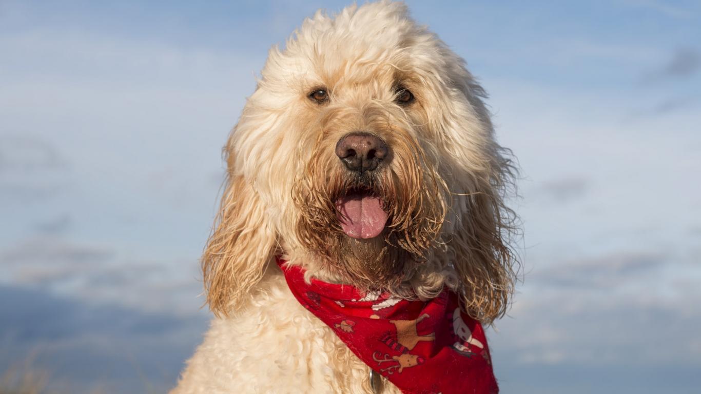 Fotografías de perros - 1366x768