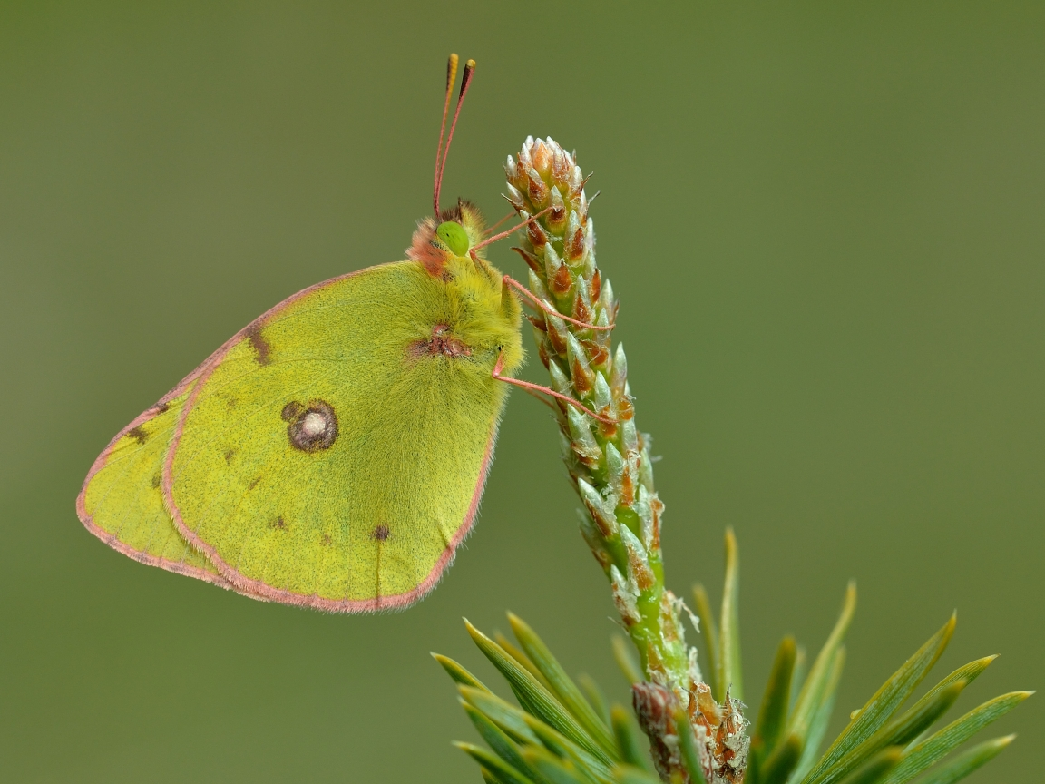 Fotografías macro de mariposas - 1152x864