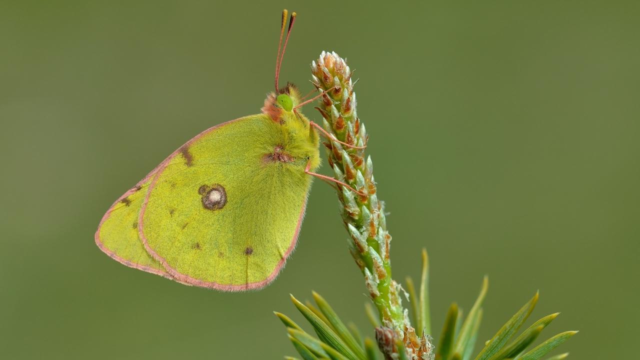 Fotografías macro de mariposas - 1280x720