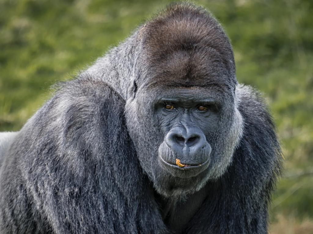 Gorilas negros - 1024x768