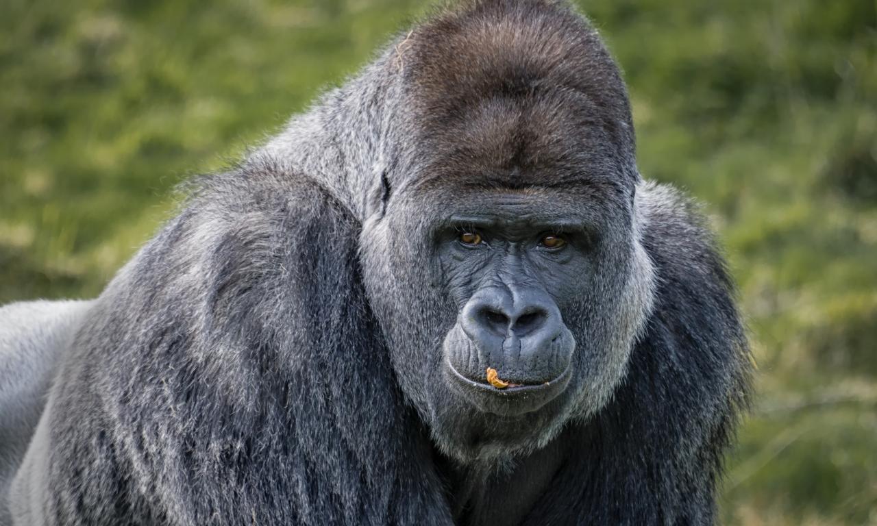 Gorilas negros - 1280x768