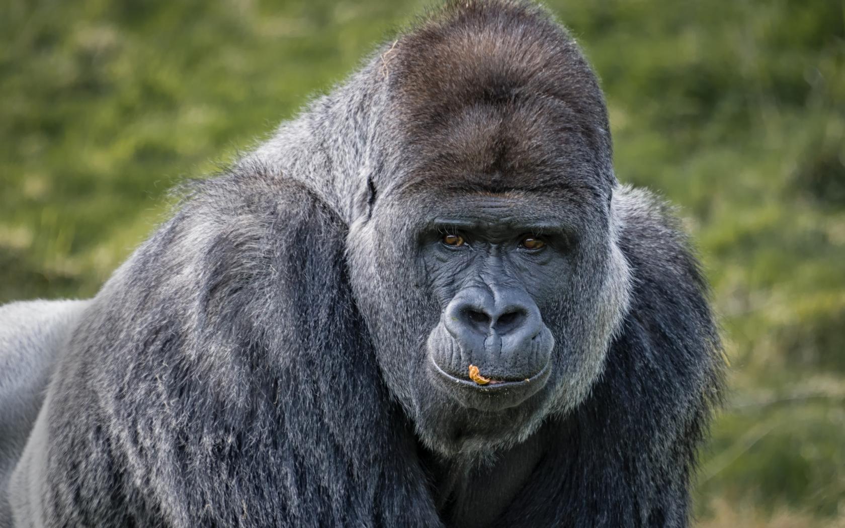 Gorilas negros - 1680x1050
