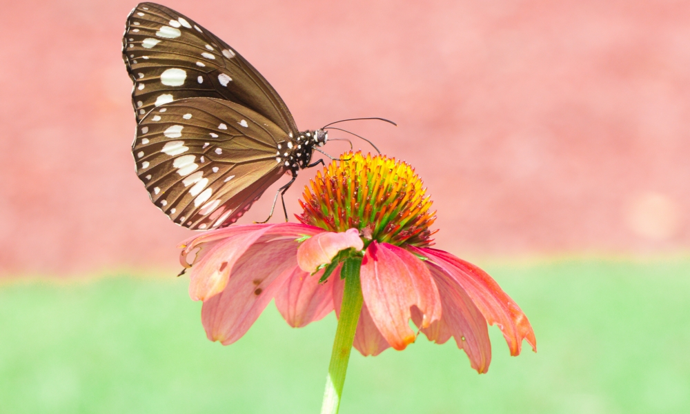 Mariposa en una flor rosada - 1000x600