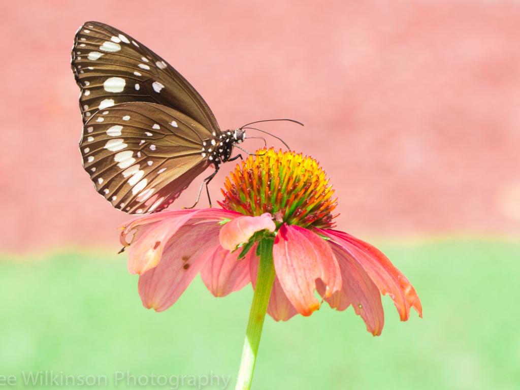 Mariposa en una flor rosada - 1024x768