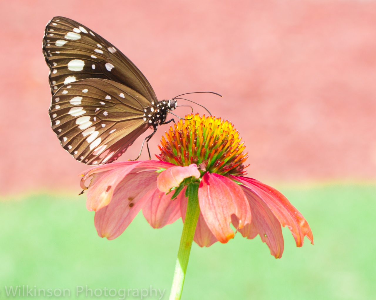 Mariposa en una flor rosada - 1280x1024