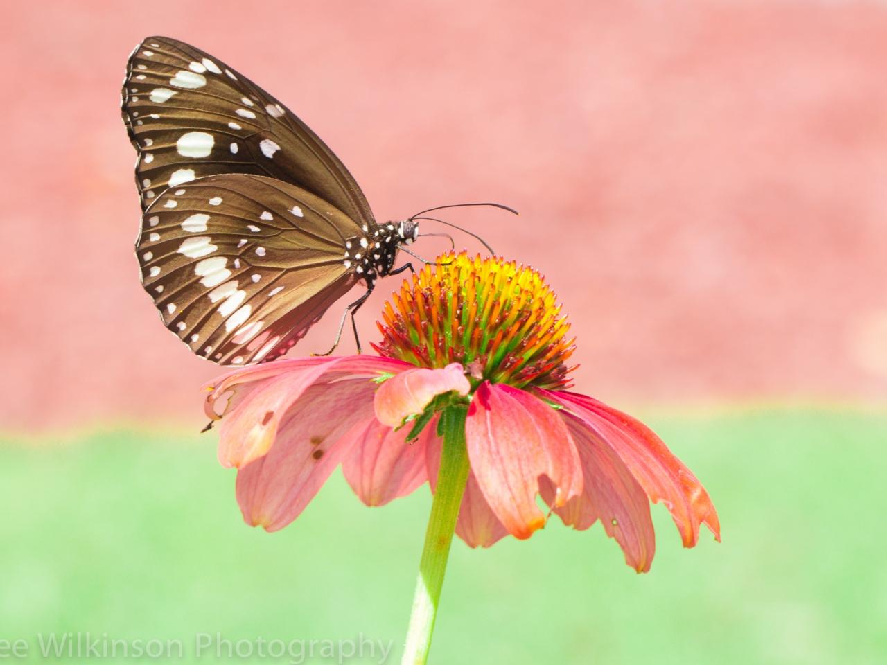 Mariposa en una flor rosada - 1280x960