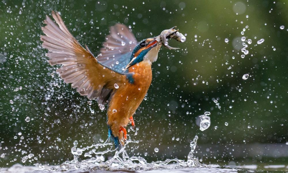 Pajaro cazando peces - 1000x600