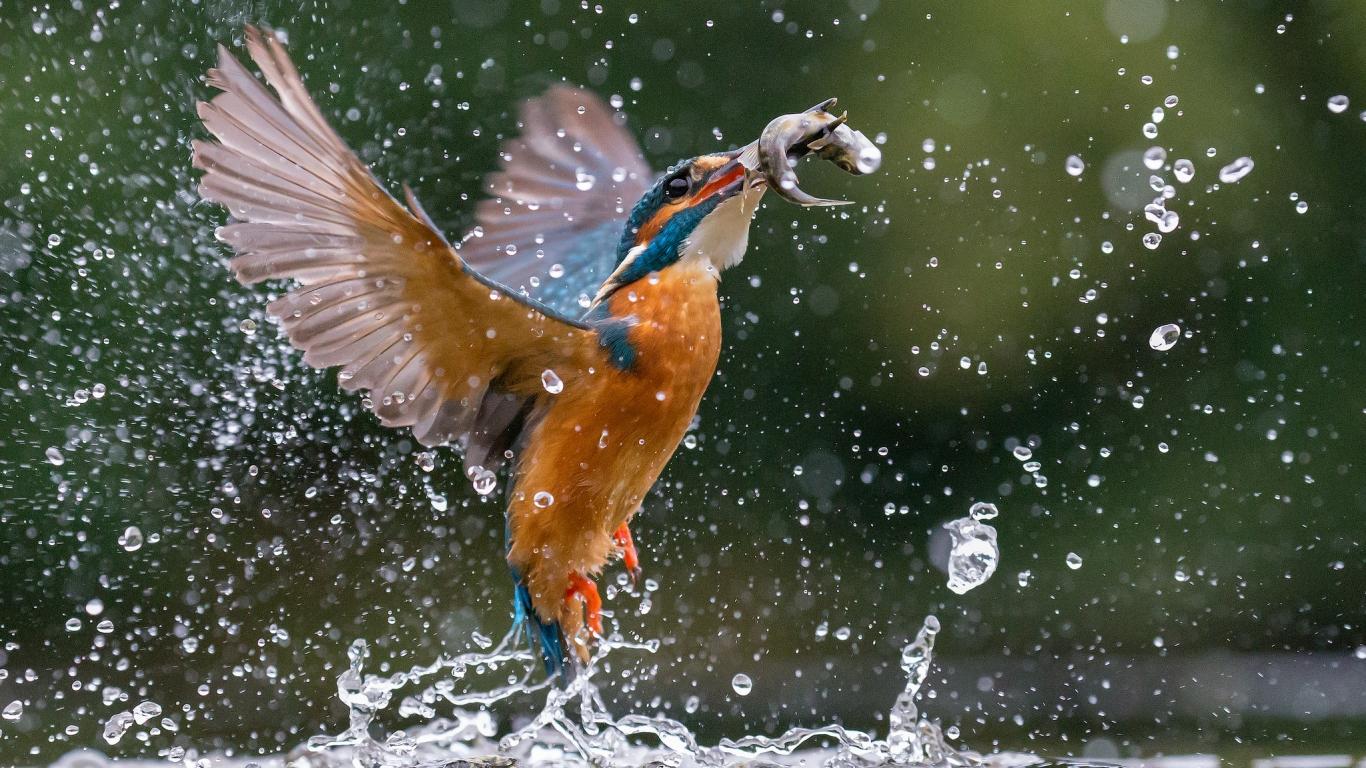 Pajaro cazando peces - 1366x768