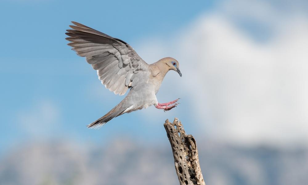 Paloma aterrizando en un palo - 1000x600