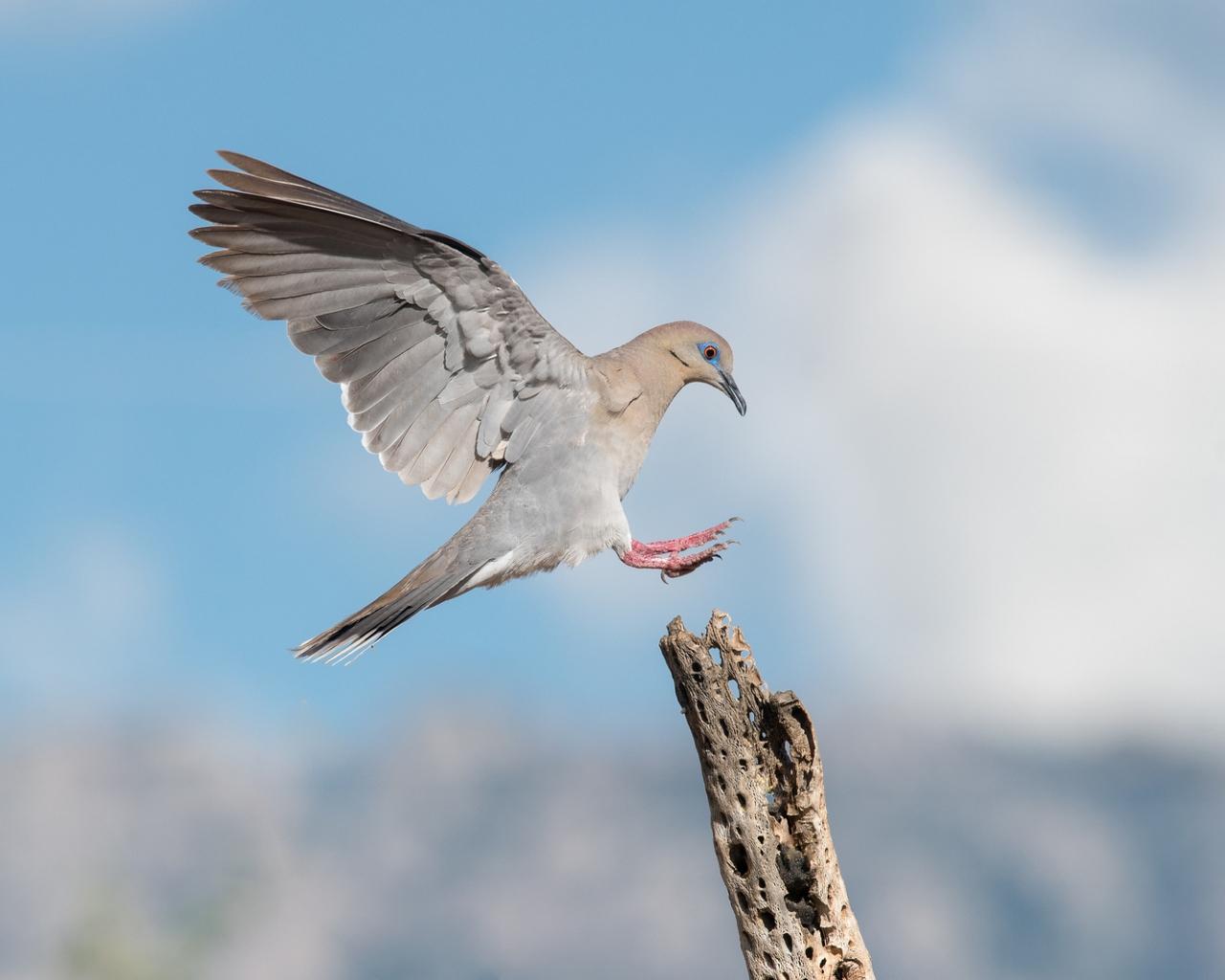 Paloma aterrizando en un palo - 1280x1024