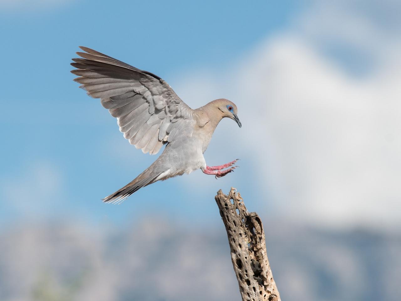 Paloma aterrizando en un palo - 1280x960