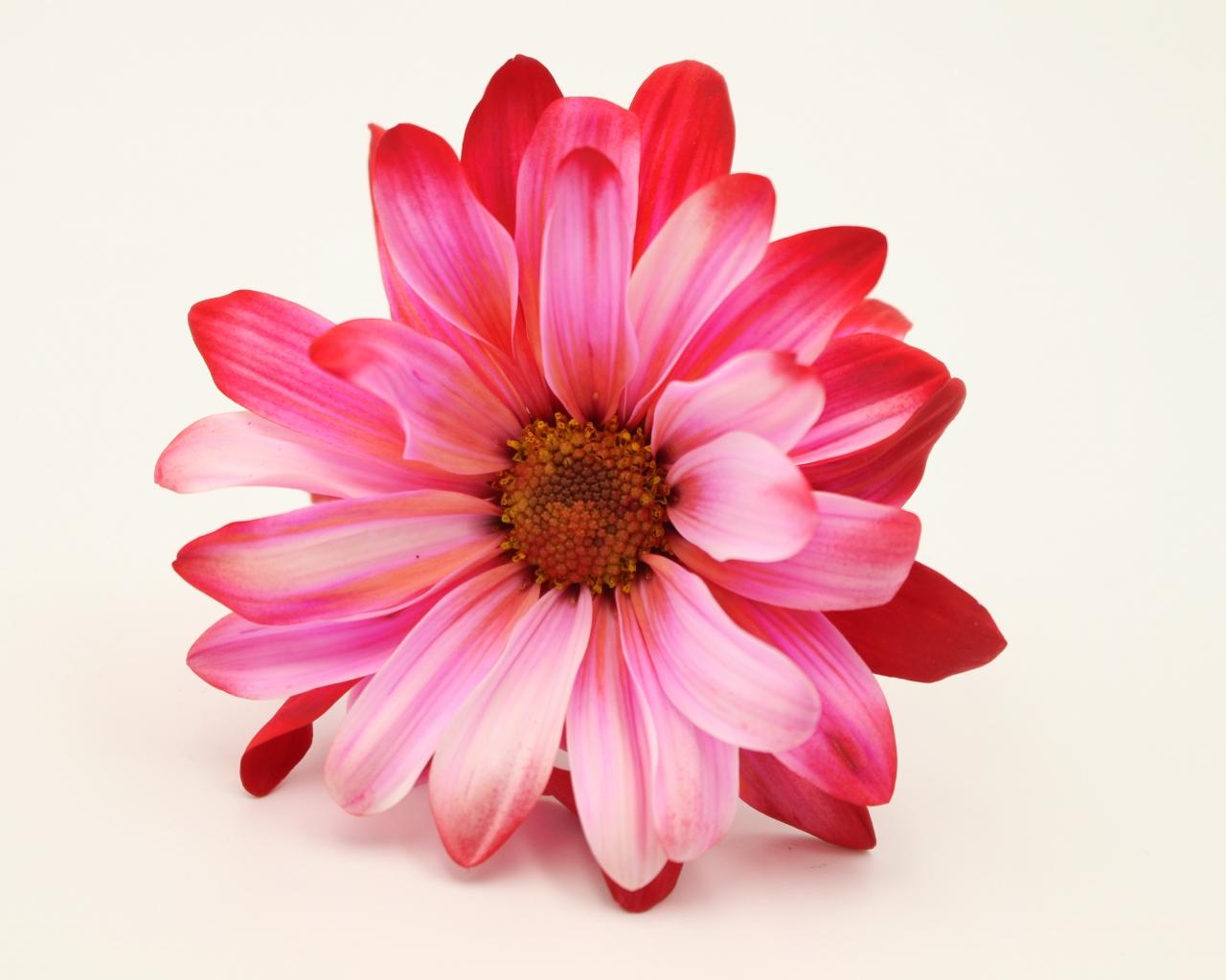 Rosas - 1280x1024