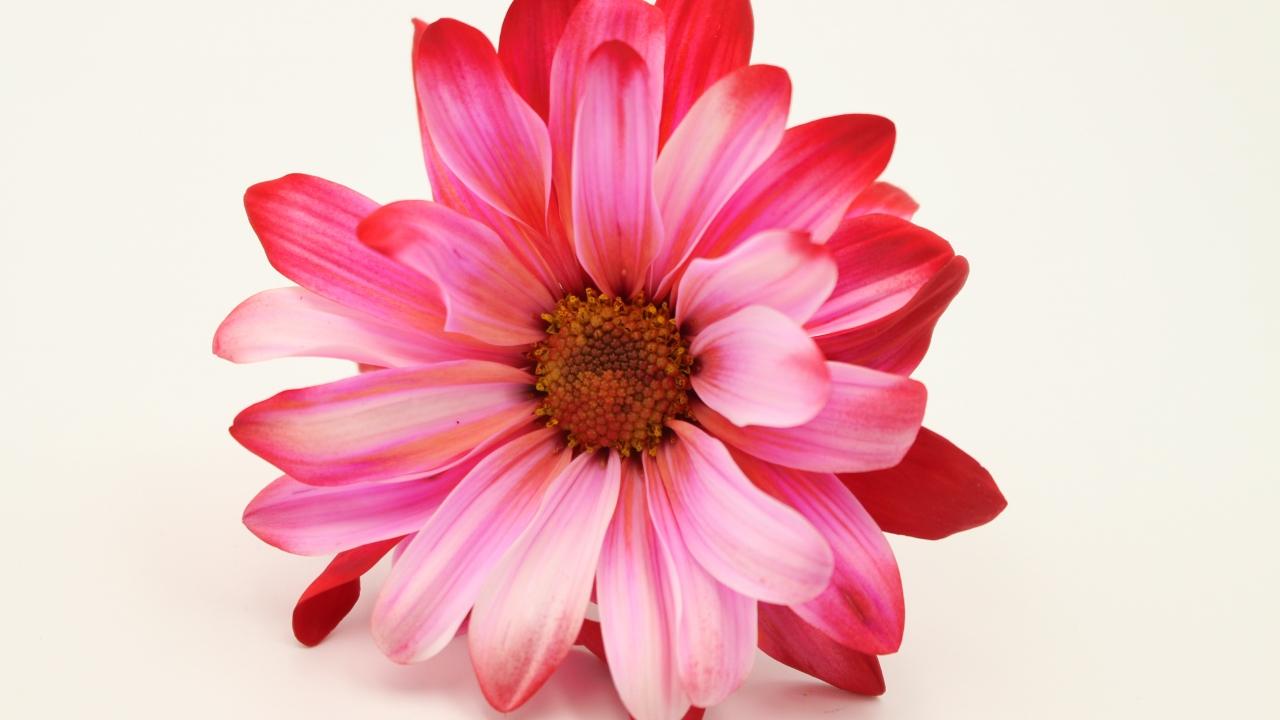 Rosas - 1280x720