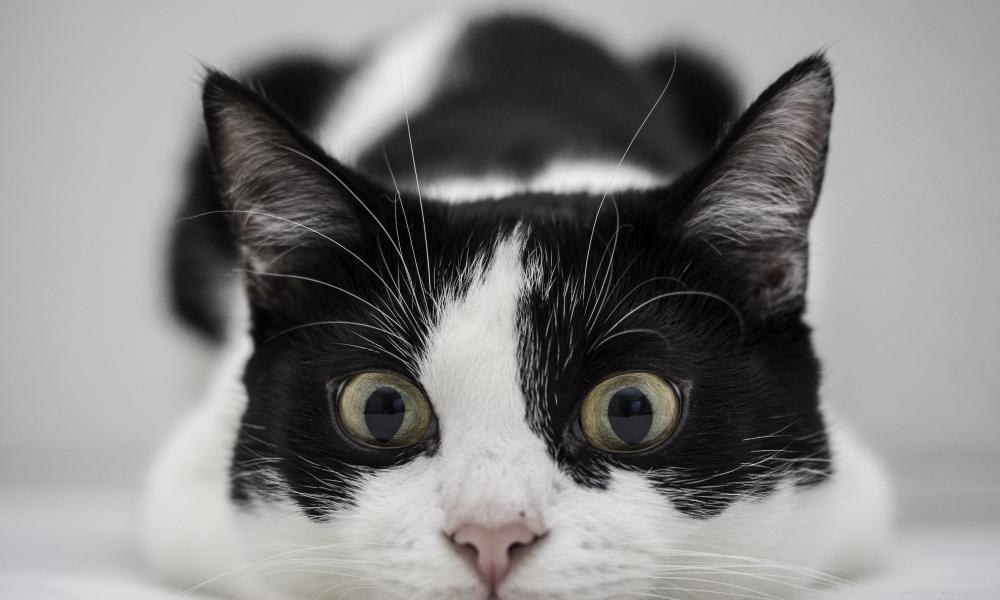 Un gato blanco y negro - 1000x600