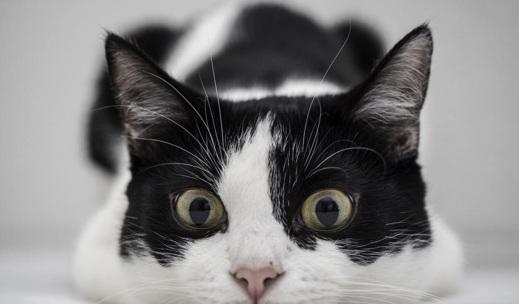 Un gato blanco y negro - 1024x600