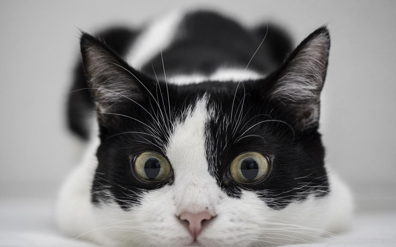 Un gato blanco y negro - 1280x800