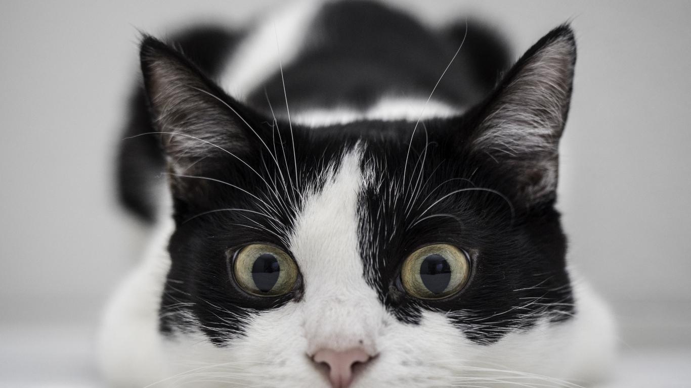 Un gato blanco y negro - 1366x768