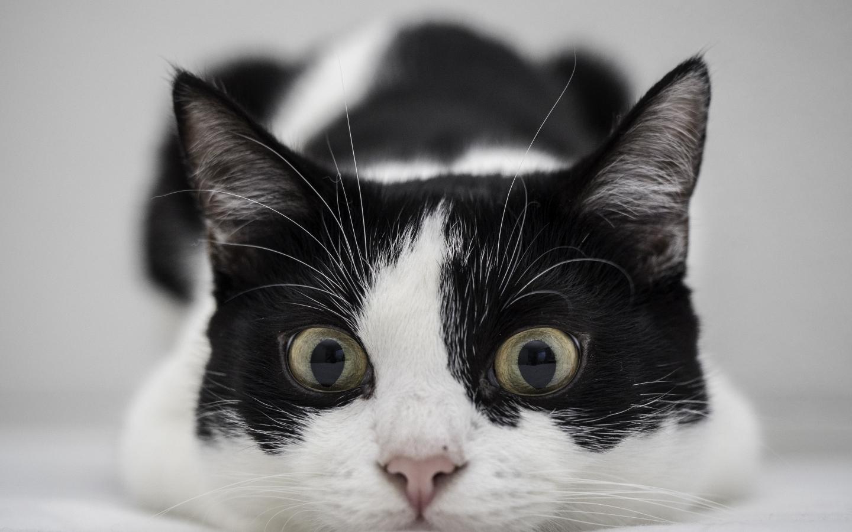 Un gato blanco y negro - 1440x900