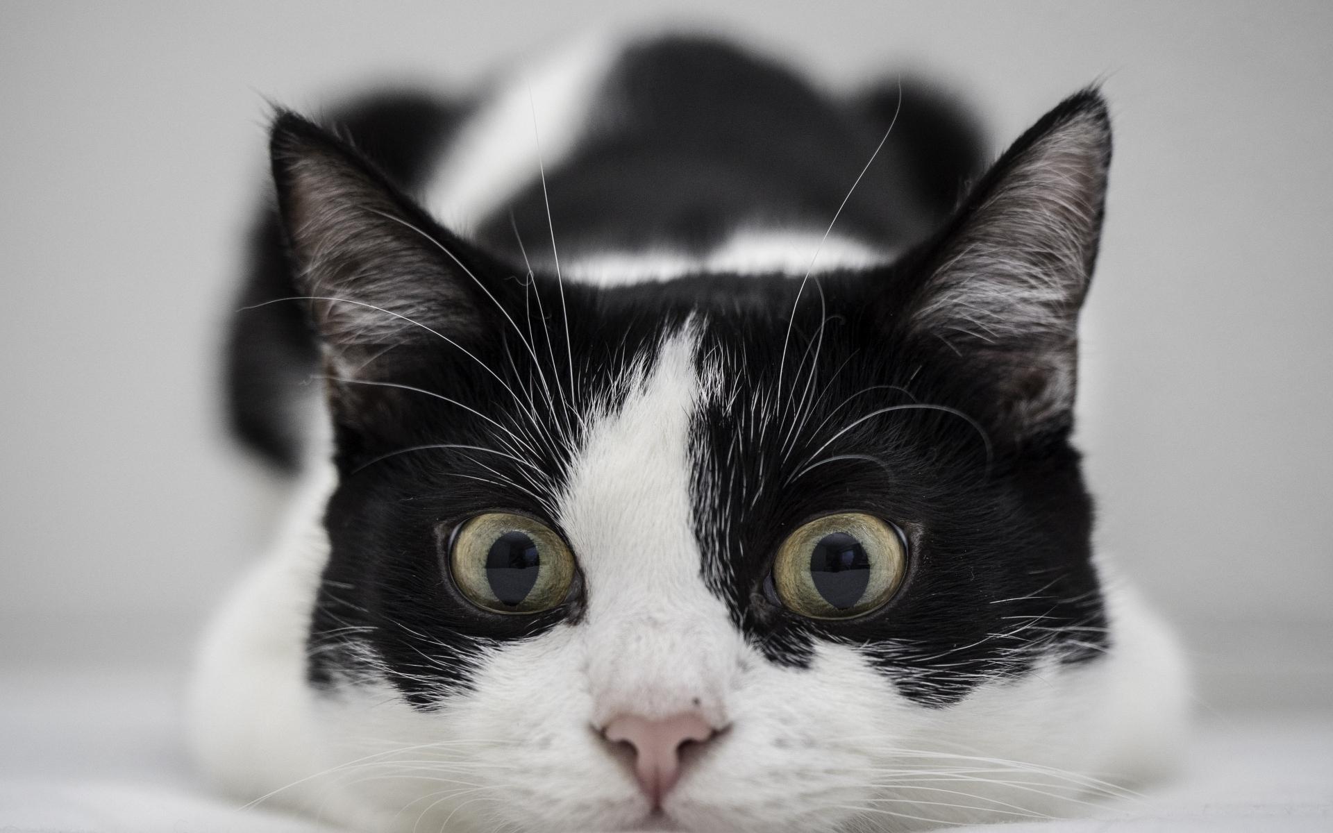 Un gato blanco y negro - 1920x1200